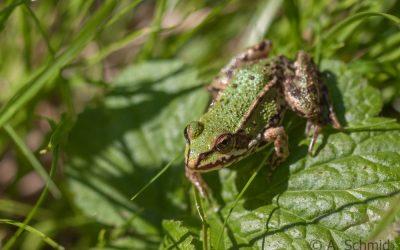 Teichfrosch Rana esculenta (Linnaeus, 1758)