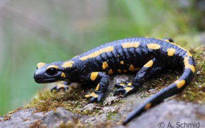 Feuersalamander Salamandra salamandra (Linnaeus, 1758)
